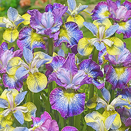 Brecks Lively & Lovely Iris Duet