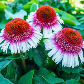 Brecks Strawberry & Cream Coneflower
