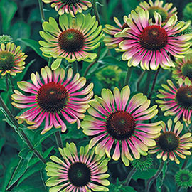 Brecks Green Twister Coneflower