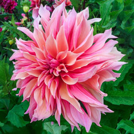 Brecks Labyrinth Dahlia