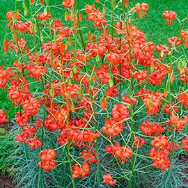 Brecks Lilium pumilum (Coral Lily)