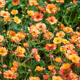 Brecks Totally Tangerine Avens
