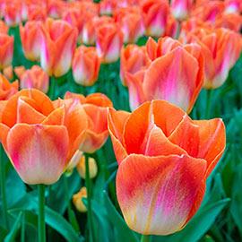 Brecks Lava Dynasty Tulipa