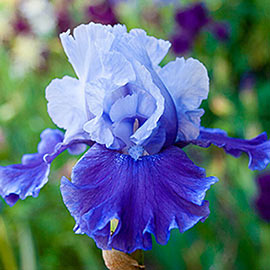 Brecks Mariposa Wizard Reblooming Bearded Iris
