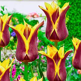 Brecks Sonnet Tulip