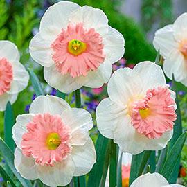 Brecks Pink Parasol Daffodil