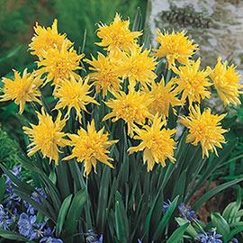 Brecks Rip Van Winkle Daffodil