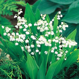 Brecks Lily-of-the-Valley  Super Sak<sup>®</sup>