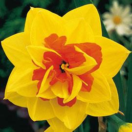 Brecks Tahiti Daffodil