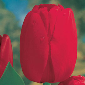 Brecks Red Dynasty<sup>™</sup> Tulip