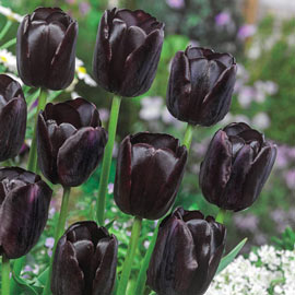 Brecks Queen of Night Tulip