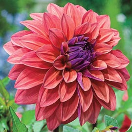 Brecks American Dawn Dahlia