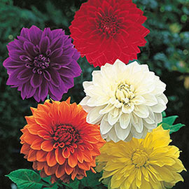 Brecks Classic Dinner Plate Dahlia Collection