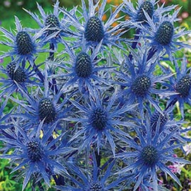 Brecks Big Blue Sea Holly