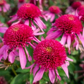 Brecks Double Scoop<sup>&trade;</sup> Bubble Gum Coneflower