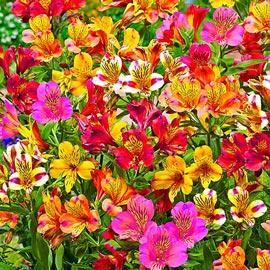 Brecks Hardy Majestic Alstroemeria Mixture