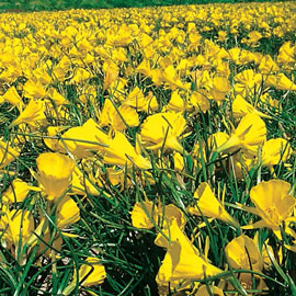 Brecks Golden Bells Carpet Daffodil<sup>™</sup>