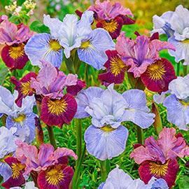 Brecks Blossoming Romance Siberian Iris Duet