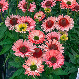 Brecks SunSeekers<sup>®</sup> Salmon Coneflower