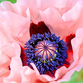 Brecks Mrs Perry Oriental Poppy