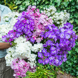 Brecks Phlox Tree™ Collection