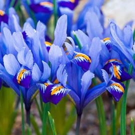 Brecks Alida Dwarf Iris