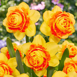 Brecks Double Suade Daffodil