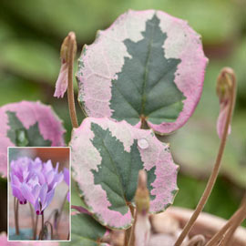 Brecks Mirabile Cyclamen  Mixture