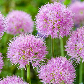 Brecks Rosy Dream Allium