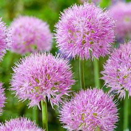 Brecks Rosy Dream Allium