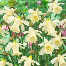 Brecks W.P. Milner Daffodil