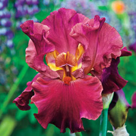 Brecks Code Red Bearded Iris