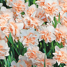Brecks Delnashaugh Daffodil Super Sak<sup>®</sup>