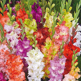 Brecks Fringed Glamini<sup>®</sup> Gladiolus Mixture