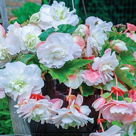 Brecks Angelique Hanging Begonia