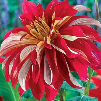 Nick Sr. Dinnerplate Dahlia
