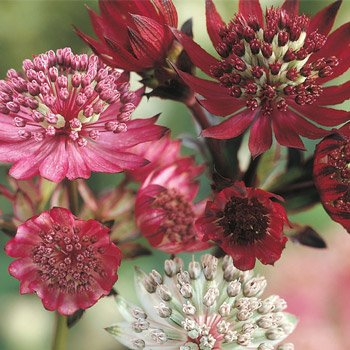 Astrantia Mixture Super Sak®