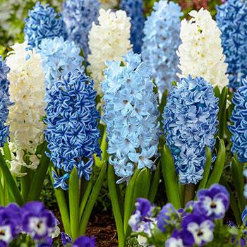 Blue-White Hyacinth Blend