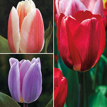 Forever Spring<sup>™</sup> Tulip Collection