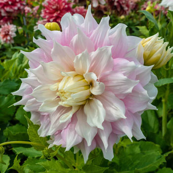Gitt's Perfection Super Size Dahlia