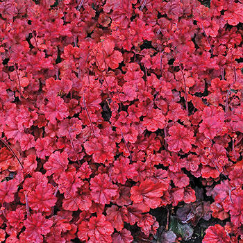 Cherry Cola Heuchera