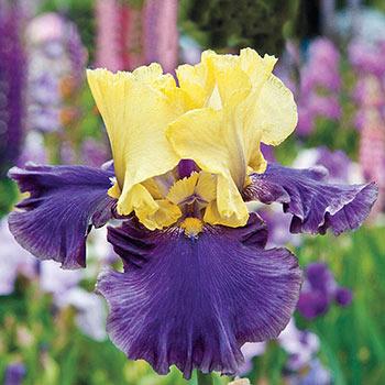 Jurassic Park Tall Bearded Iris