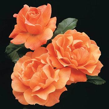 Livin' Easy<sup>™</sup> Floribunda Rose
