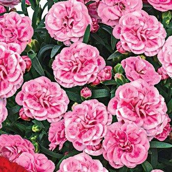 Orinoco Carnation