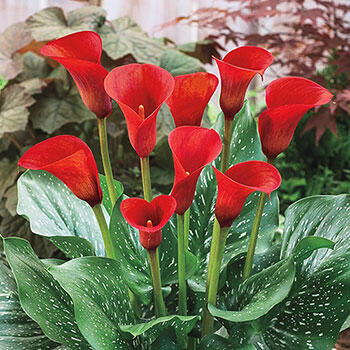 Red Alert<sup>®</sup> Calla Lily