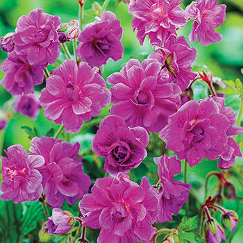 Double Geranium Birch