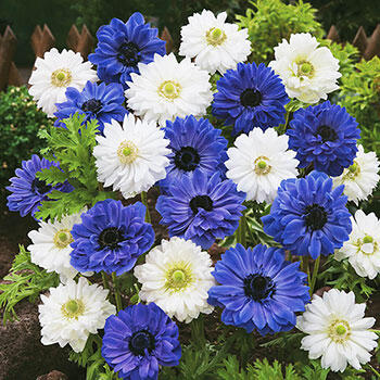 Blue & White Double Daisy Anemone Mixture