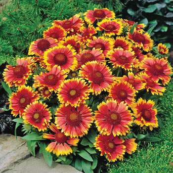 Arizona Sun Gaillardia