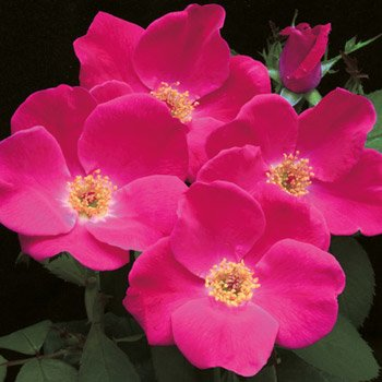 Pink Home Run® Shrub Rose
