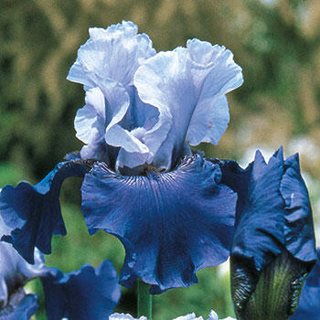Best Bet Reblooming Tall Bearded Iris